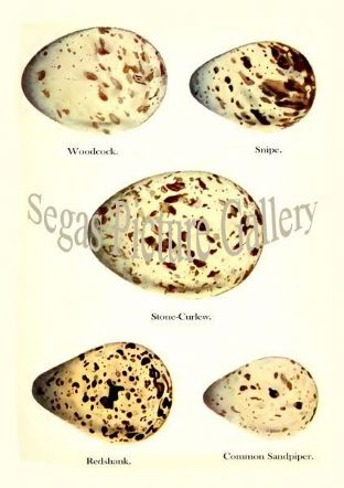 Woodcock, Snipe, Stone-Curlew, Redshank, Common Sandpiper Eggs